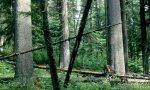 oldgrowth western white pine